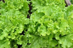 Salade verte 5 astuces pour la rendre originale